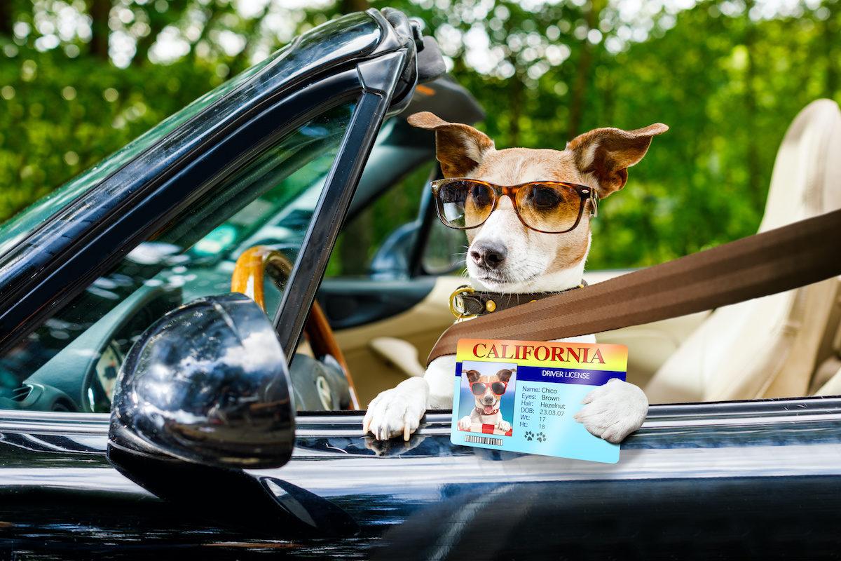 Wie kann man einem Hund beibringen, im Auto zu reisen?