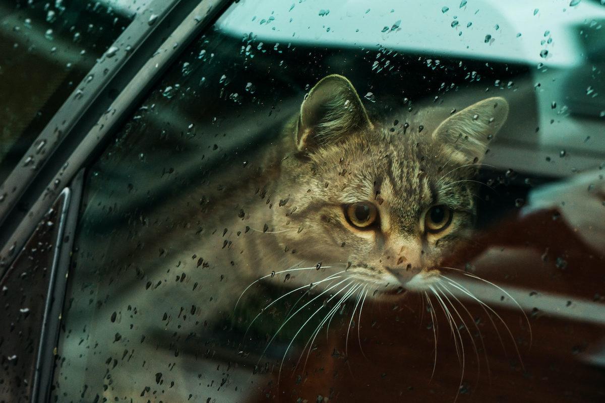 Wie kann man einer Katze beibringen, im Auto zu reisen